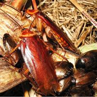 Kakerlaken für die Nachbarin