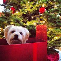 Der Hund zu Weihnachten